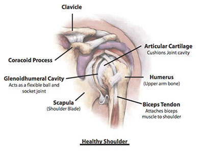 shoulder anatomy- healthy shoulder, Bone and Joint Specialists